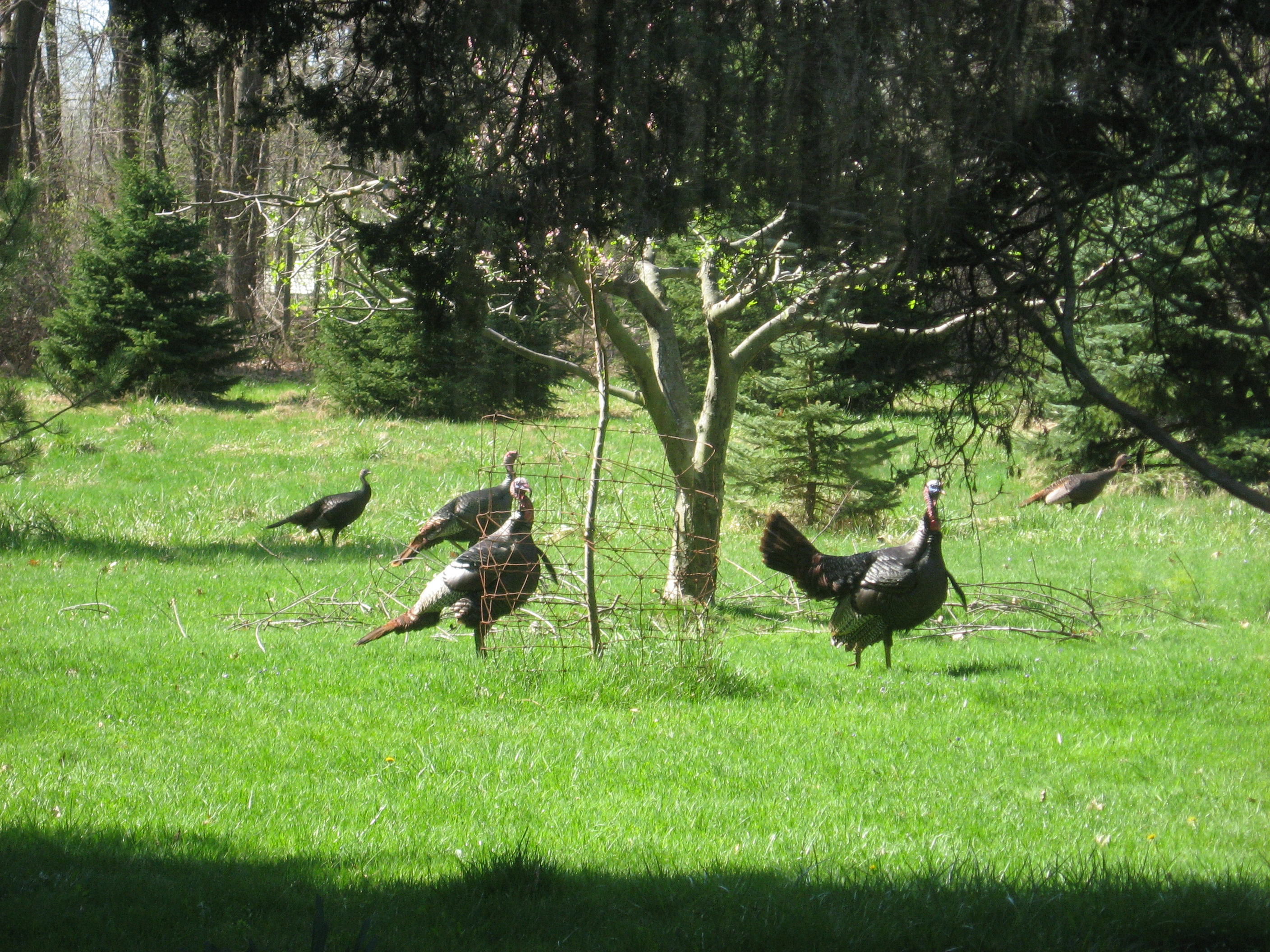 Turkeys at the Preserve