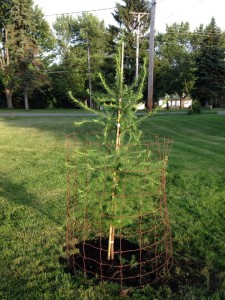 Tamarack planted at the Arboretum.