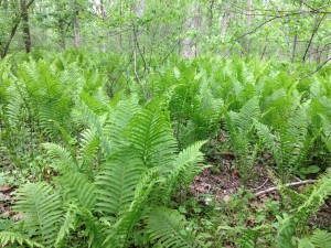 Ostrich ferns are seen here in the rich bottomland floodplain forests of the Vermilion River floodplain at the Bacon Woods metropark system.
