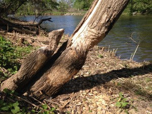 Beaver evidence was noted along the Island's edge.